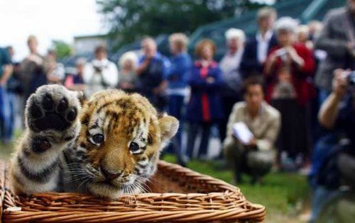 Pictures Of Tigers And Cubs. baby Tiger+cubs+playing