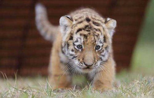 Cute tiger cub love is in the air cute tiger cub altavistaventures Images