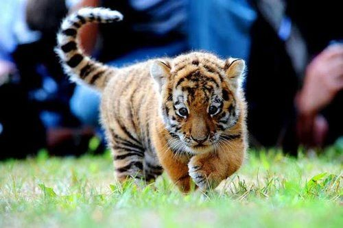 Save tigers   Love is in the Air.....